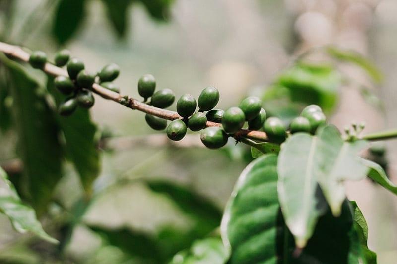 rota verde do cafe